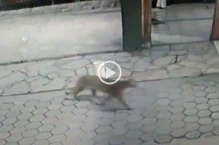 Video: buscan un puma en la ciudad de San Carlos de Bariloche
