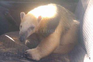 Rescataron un oso melero en Alejandra