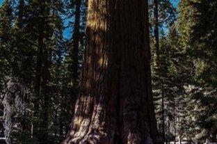 En California luchan para salvar al árbol más grande del mundo de los incendios
