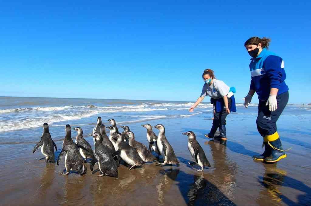 Un grupo de 14 pingüinos magallánicos retornaron al mar en las playas de San Clemente el viernes pasado luego de atravesar un proceso de rehabilitación en la Fundación Mundo Marino. Crédito: Télam