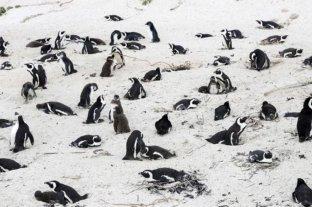 Más de 60 pingüinos en peligro de extinción murieron por un enjambre de abejas