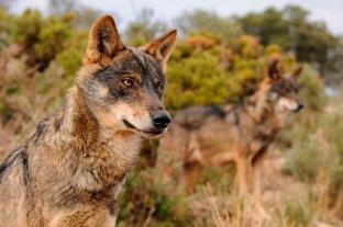 España prohibió la caza de lobos