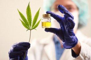 Usan inteligencia artificial para testear y obtener aceite de cannabis