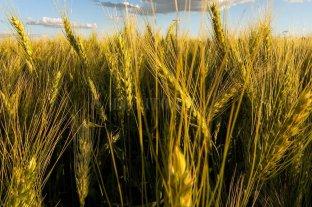 El trigo volvió a subir en Rosario y alcanzó los US$ 240