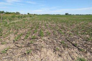 El área sembrada de soja caería a unos 16,5 millones de hectáreas