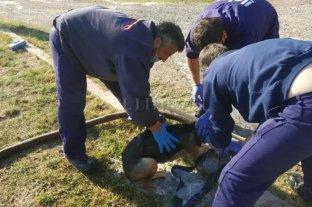 Rescatan tres canes caídos en una pileta de tratamiento de efluentes