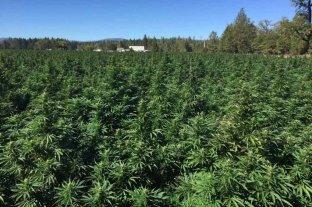 """Aseguran que el cannabis medicinal """"puede hasta proteger a las neuronas"""""""