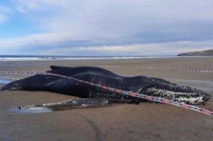 Murió un ejemplar de ballena yubarta que había varado en Chubut