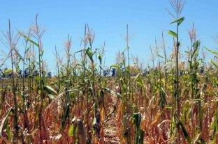 Niña a full: cómo impactaría en los rindes del maíz