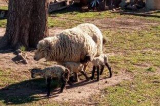 """Sorpresa en el sur de Santa Fe por una oveja que tuvo """"trillizos"""""""