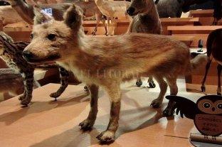 """Investigadores japoneses aseguran haber hallado """"es eslabón perdido"""" entre el lobo y el perro"""