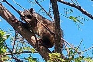 Rescataron un ejemplar de mapache en San Javier