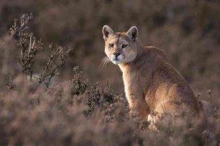 Un puma considerado extinguido hace 80 años volvió a ser visto en Rio de Janeiro