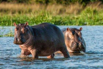 """Los hipopótamos de Pablo Escobar recibieron el estatus de """"persona jurídica"""""""