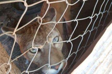 Rescataron un puma que estaba en cautiverio en el norte santafesino